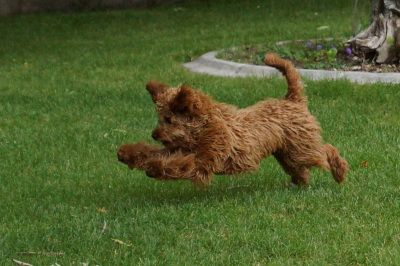 Goldendoodles For Sale Montana Goldendoodles Call Now